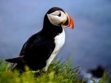 Papuchalk - symbol islandskej fauny