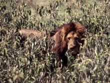 Lev vo vysokej tráve.