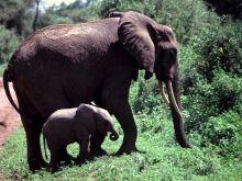 Slonica s mláďaťom.